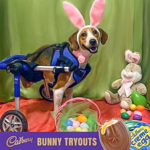 wheelchair dog is cadbury bunny