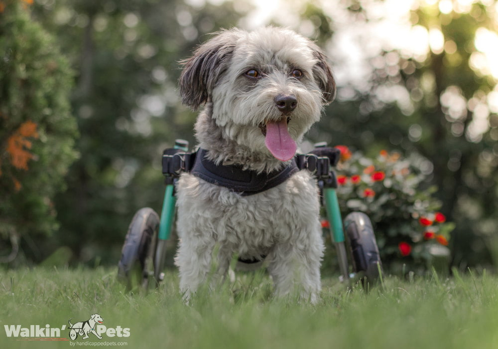 How to train a handicapped dog