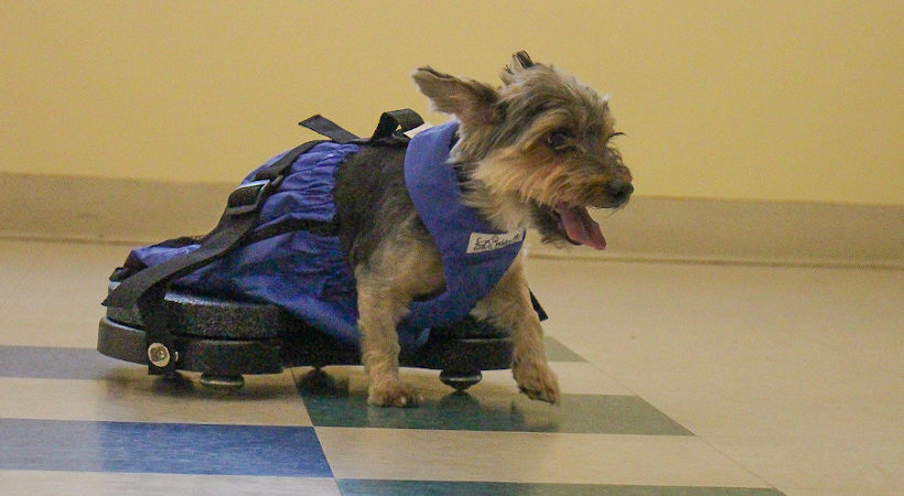 6 Indoor Mobility Solutions for Handicapped Pets