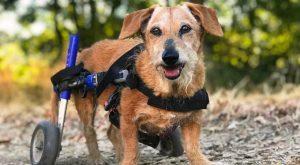 Senior dog with arthritis uses dog wheelchair to improve mobility