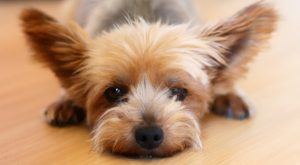 yorkshire terrier with luxating patella