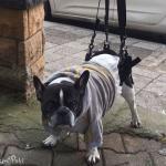 French Bulldog in Walkin' Lift Rear Harness