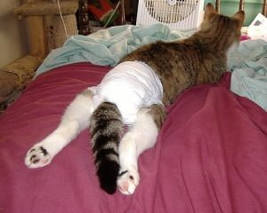 Handicapped Pets Pet Diapers Pros Amp Cons Of Pet Diapers