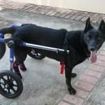 Milo in dog wheelchair