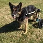 Retired Police Dog Amputee Loves Walkin Wheels