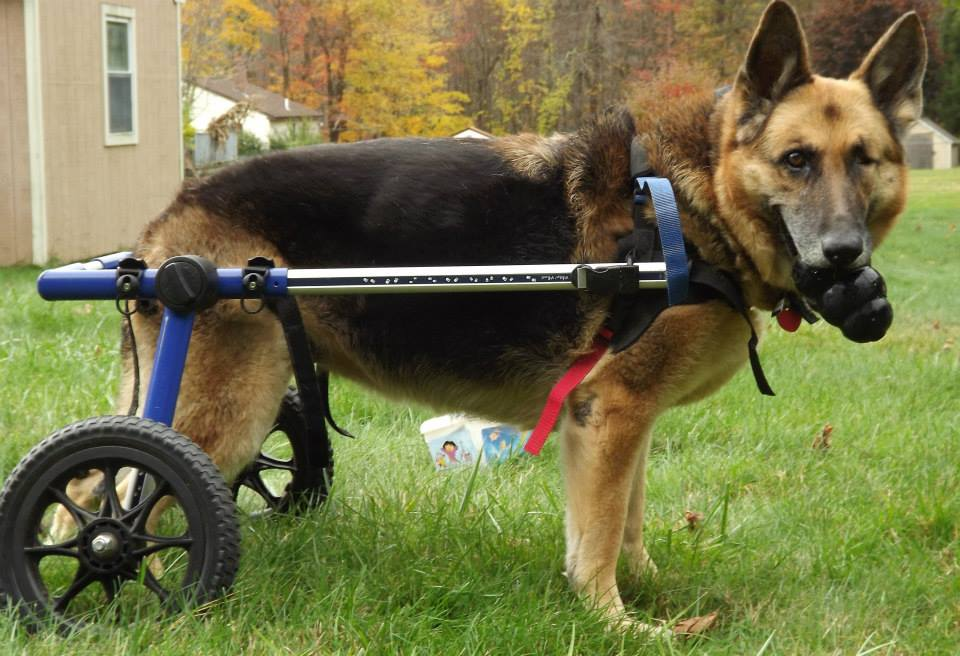 Lexus in Walkin' Wheels Dog Wheelchair Playing with Toy