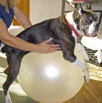 handicapped dog on a ball