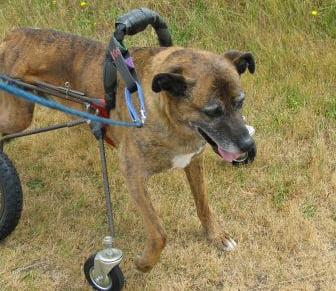 How To Make A Wheelchair For Dogs Goldenacresdogs Com