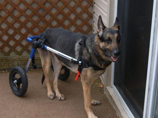 Degenerative Myelopathy German Shepherd | Handicapped Pets