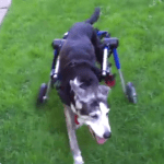 Shayna Continues to Enjoy her Walkin' Wheels