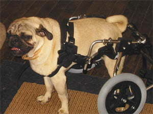 Marvin in Wheelchair