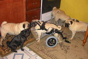 dog in a wheelchair
