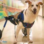 Two-Legged Dog in Walkin' Amputee Cover