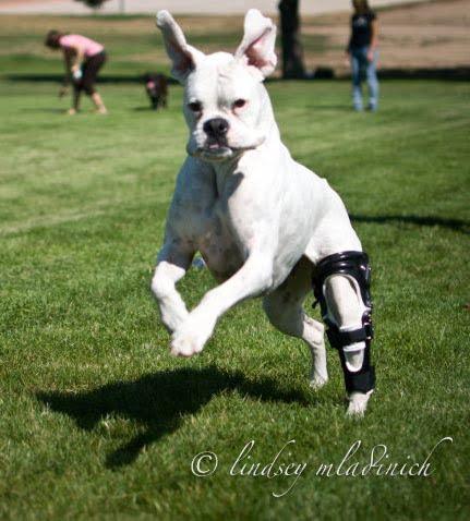 Dog Splints And Canine Dog Orthotic Amp Prosthetics