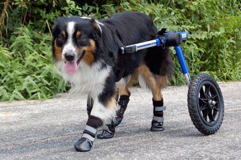 Tripod Dog Causes Of Amputation Handicappedpets