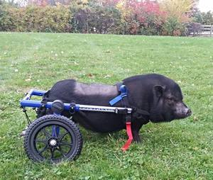 Paralyzed Pig Rolls to Recovery from Surgery in Walkin' Wheels Dog