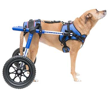 Maggie in Walkin' Lift Combo Harness with Rear Walkin' Wheels