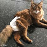 Cat in Disposable Pet Diapers