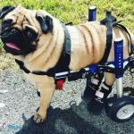 Oscar the Pug in Pet Boots