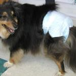 Smoky in Disposable Pet Diapers