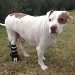 Bubbs in Walkin' Rear Splint