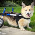 Lincoln in Wheelchair Front Vest