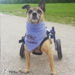 Paralyzed Ukraine dog