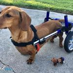 Minime and Walkin Wheels Dog Wheelchair Wind Up Toy