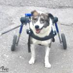 Greek Dog in Walkin' Wheels