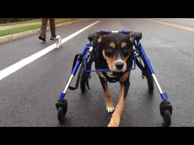 Full Support Medium Dog Wheelchairs   Walkin' Wheels