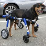 Guinness in Medium Full Support / Quad Walkin' Wheels Wheelchair