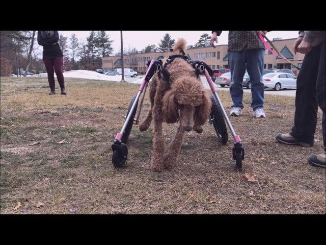 Female Dog Pees in Walkin' Wheels!