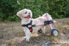 Walkin' Wheels Small Dog Wheelchair Rentals