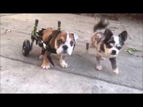 Walkin' Wheels Small Dog Wheelchair