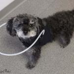 Lily Walkin' Blind Dog Halo