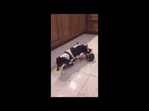 Dachshund Compilation Video