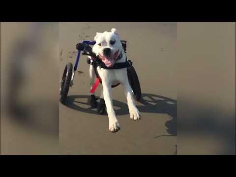 Duke the Boxer Running in Slow Motion in Wheelchair