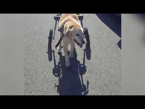 Lab's and Golden's First Steps in Walkin' Wheels!