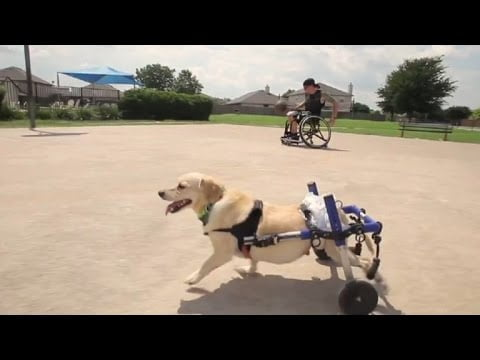 A Dog in a Wheelchair is Handicapped Man's Best Friend