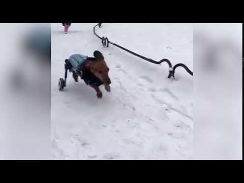 Maxim the Doxie Running in Wheelchair Through Snow!