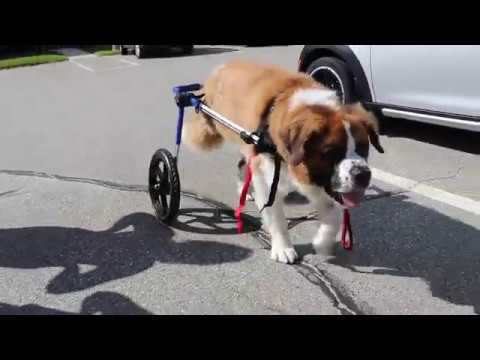 Oliver the Saint Bernard Gets Fitted for Walkin' Wheels!