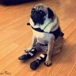 Pug in Pet Boots