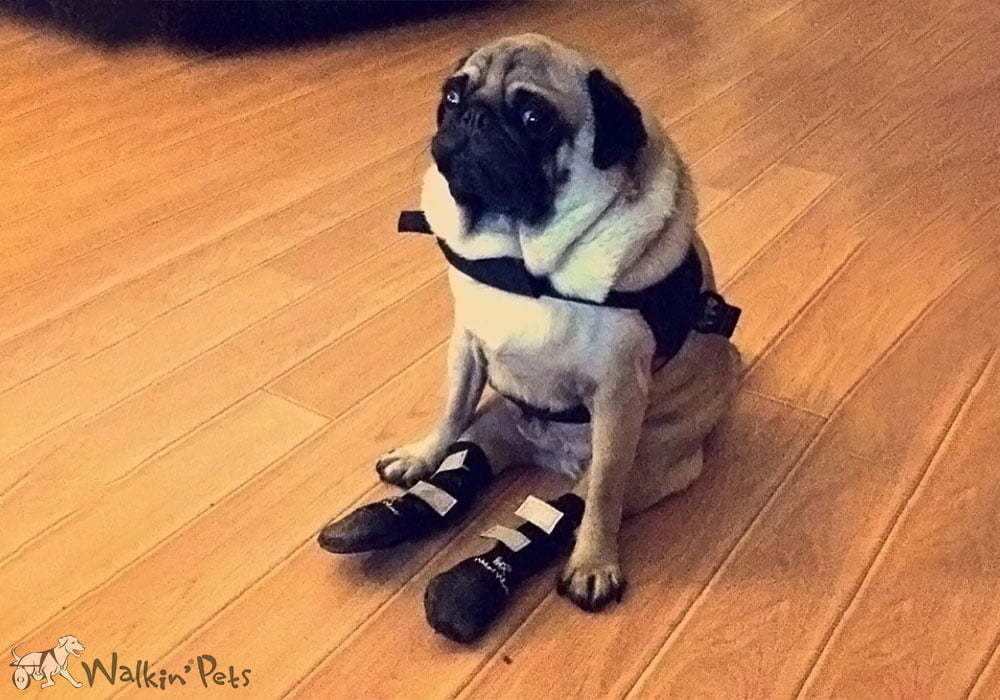 Arthritis In Small Dogs