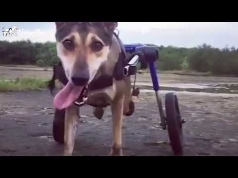 Rescued Disabled Dog in Thailand With New Lease