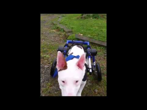 Tinkerbelle the Bull Terrier Takes Big Strides in Dog Wheelchair