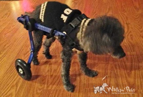 Casey in Mini Walkin' Wheels Wheelchair