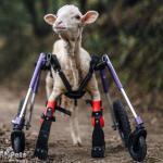 Chiara Sheep in Medium Full Support / Quad Wheelchair