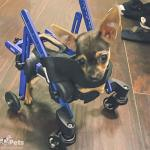 Cici in Mini Dog Wheelchair Page
