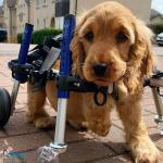 Luna the Spaniel in Full Support Wheelchair