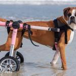 Abby Boxer in Medium Dog Wheelchair